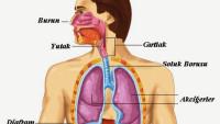 Solunum Sistemi Organları – Soluk Alıp Verme